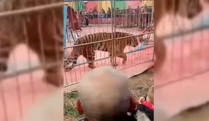 Video: el feroz ataque de un tigre de circo a su domador frente al público horrorizado